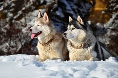 Siberian husky in the snow. Siberian husky sitting in the snow on a winter day Stock Images