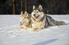 Siberian husky on snow. Siberian husky sitting on snow on a winter day Royalty Free Stock Image