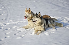 Siberian husky on snow Stock Images