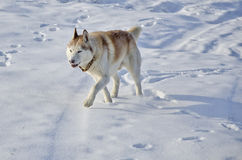 Siberian husky in a snow field Royalty Free Stock Photo