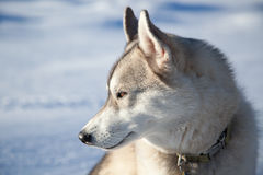 Siberian Husky Snow Profile Royalty Free Stock Photo