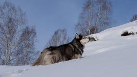 Siberian Husky stock footage