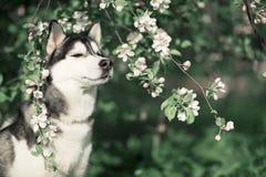 Siberian husky in the spring flowers stock photos