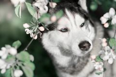 Siberian husky in the spring flowers stock image
