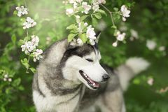 Siberian husky in the spring flowers royalty free stock image
