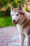 Siberian husky in standby position. Royalty Free Stock Photo