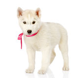 Siberian Husky standing in front.  on white background Stock Images