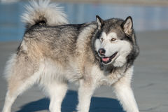Siberian Husky. Standing on tke coast Stock Photo