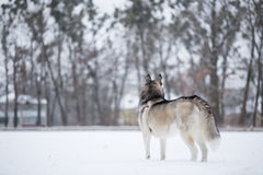 Siberian husky stands with his back to photographer. Royalty Free Stock Photography
