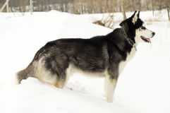Siberian husky stands at snow Stock Image