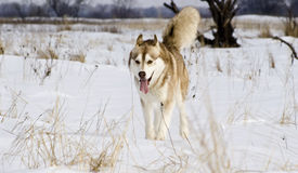 Siberian husky in a steppe landscape Stock Image