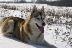 Siberian husky in a steppe landscape Royalty Free Stock Photography