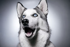 Free Siberian Husky Studio Photo Royalty Free Stock Images - 28540639