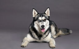 Siberian Husky Studio Portrait Royalty Free Stock Photography