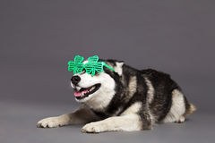 Siberian Husky Studio Portrait with Green Clover Glasses. Studio portrait of a Siberian Husky female dog wearing a pair of funky clover-shaped green glasses Stock Photography