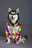 Siberian Husky Studio Portrait with Hawaiian Flower Necklace Stock Photo