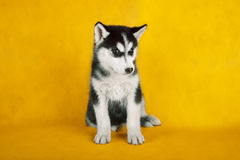 Siberian husky studio shoot. isolated on yellow stock photos