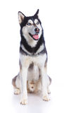 Siberian husky in studio Royalty Free Stock Image
