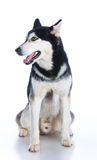 Siberian husky in studio Stock Photos