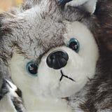 Siberian Husky Stuffed Animal Arkivbild