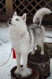 Siberian husky. On the stump Royalty Free Stock Photo