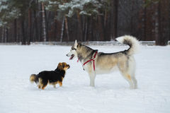 Siberian Husky and Tibetan Spaniel. Royalty Free Stock Photos