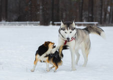 Siberian Husky and Tibetan Spaniel. Stock Photo