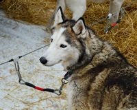 Siberian Husky Tied Down. A beautiful Siberian Husky tied down at the dogsledding demonstration in Williams Bay, Wisconsin Royalty Free Stock Photography