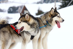 Siberian Husky. Two of sled dogs running through lonely winter landscape stock photo