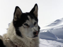 Siberian Husky. Up to  the  National Park Piatra  Craiului Royalty Free Stock Photos