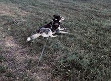Siberian Huskies in the yard stock images