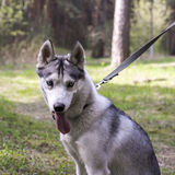 Siberian husky on a walk in Tver Stock Photo