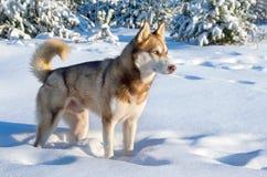 Siberian husky royalty free stock photography