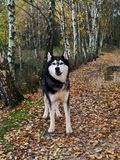 Siberian husky on walking. In autumn nature Royalty Free Stock Photography