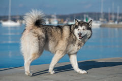 Siberian Husky walking. Near the sea Royalty Free Stock Photos