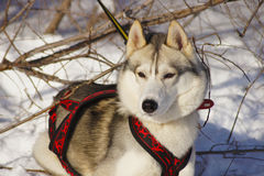 Siberian Husky watches Royalty Free Stock Photos