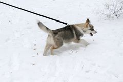 Siberian husky went out for a walk Stock Photography