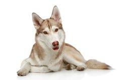 Siberian Husky on white Stock Images