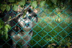Sad Siberian Husky Behind Fence Stock Photography