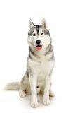 Siberian Husky on white Royalty Free Stock Photos
