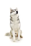 Siberian Husky on white Stock Photography