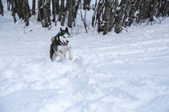 Siberian Husky into the wild. Amazing portrait of a Siberian Husky wolf dog into the wild of the forest on fresh powder snow ground stock images