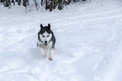 Siberian Husky into the wild. Amazing portrait of a Siberian Husky wolf dog into the wild of the forest on fresh powder snow ground during a cloudy and snowy day stock photos