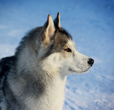 Siberian husky in winter Stock Photography