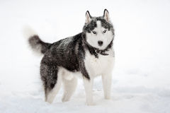 Siberian husky in winter royalty free stock photography