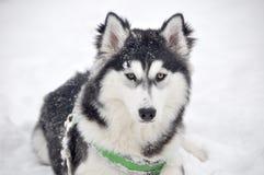 Siberian Husky winter dog white black Stock Image