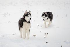Siberian husky in winter stock photography