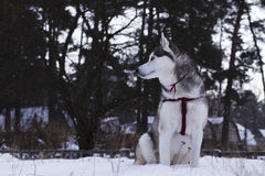 Siberian Husky in winter environment. Stock Images