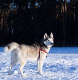 Siberian Husky in winter environment. Royalty Free Stock Photography