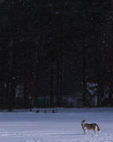 Siberian Husky in winter environment. Royalty Free Stock Photos